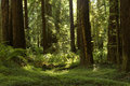 Redwood Grove along the Avenue Of The Giants, California Royalty Free Stock Photo