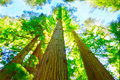 Redwood grove in north california sunny day Stock Photo