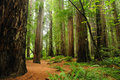 Redwood national park Stock Photography