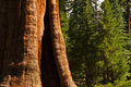 Redwood Tree in foreground of forest Royalty Free Stock Photo