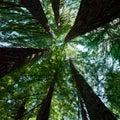 Redwood Trees Stock Photography