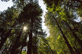 Redwood Trees in Muir Woods Royalty Free Stock Photo