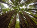Redwoods of Muir woods Royalty Free Stock Photo