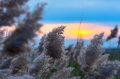 Reed against the sunset cane in evening in a strong wind Stock Images