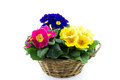 Reed basket with multicolor primroses isolated Royalty Free Stock Photography