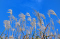 Reed on blue sky in autmn Stock Image
