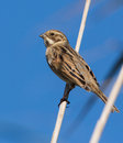 Reed Bunting Royalty Free Stock Photography