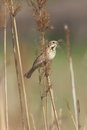 Reed bunting which perches on a in bed Royalty Free Stock Photo