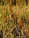 Reed cattails and reeds next to the river Royalty Free Stock Images
