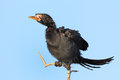 Reed Cormorant Royalty Free Stock Photo