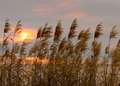 Reed grass swaying in the wind during a sunset on the gulf of mexico Royalty Free Stock Image