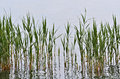 Reed in the lake Royalty Free Stock Photo