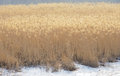 Reed marshes the scenery of winter Stock Photos