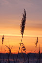 Reed over sunset sky at winter Stock Images