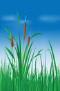 Reed plant over blue sky Royalty Free Stock Images