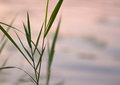 Reed silhouette background abstract of plant rush cane closeup forming a geometric partially blurred pattern with wavy water Stock Photography