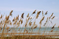 Reed stand Royalty Free Stock Photo