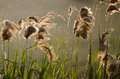 Reed in the sunset Royalty Free Stock Photo