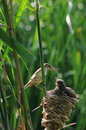 Reed warbler feed turtledove birdling a is feeding a in marshes in beijing olympic forest park Stock Photos