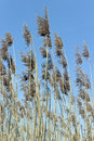 Reed on wind over blue sky Stock Image