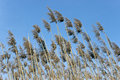 Reed on wind over blue sky Stock Photography
