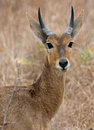 Reedbuck the southern rietbok or common redunca arundinum is a diurnal antelope typically found in southern africa Stock Images