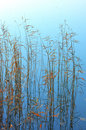 Reeds Royalty Free Stock Photo