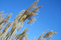 Reeds against blue sky Royalty Free Stock Photo
