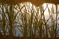 Reeds in backlit Stock Photography