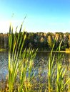 Reeds on the banks of a pond and green forest background, midday in sunny day with white clouds against the blue sky. Royalty Free Stock Photo