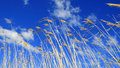 Reeds blowing in the wind against a blue sky cloudy Royalty Free Stock Photography