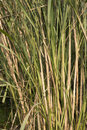 Reeds closeup background in sunny day Royalty Free Stock Image