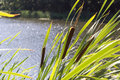 Reeds in the foreground in focus. The lake serves as a backdrop Royalty Free Stock Photo