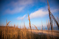 Reeds growing on the shore Royalty Free Stock Photography