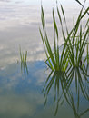 Reeds in a pond Stock Photography