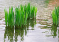 Reeds, reflection in the river Royalty Free Stock Photo