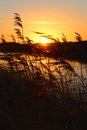 Reeds in sunrise by water the Royalty Free Stock Image