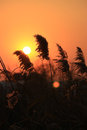 Reeds in sunset glow Royalty Free Stock Photo