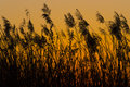 Reeds in sunset Royalty Free Stock Photo