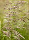 Reeds up close on a windy day Royalty Free Stock Image