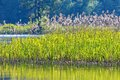 Reeds in the water edge Royalty Free Stock Photo