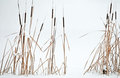 Reeds in the winter scene Stock Images