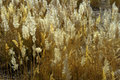 The reeds yellow at autumn Royalty Free Stock Image