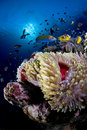 Reef And Anemone With Fish, Red Sea, Egypt