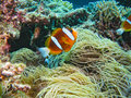 Reef Anemonefish, Great Barrier Reef, Australia Stock Image