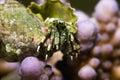 Reef hermit crab (dardanus lagopodes) Stock Photography