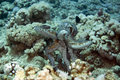 Reef octopus (octopus cyaneus) Stock Photography