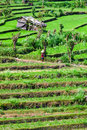 Reen rice field terrace green with small temporary buildings bali indonesia Stock Photos