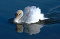 Reflected beauty swan in the water at willen lake milton keynes Stock Photography