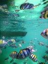 Reflected sergeant major fish Royalty Free Stock Photo